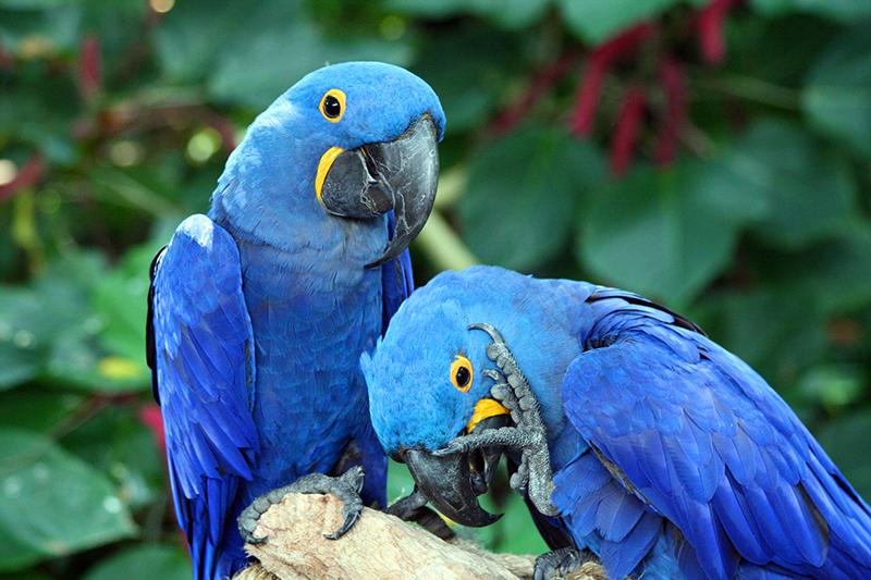 Ararinha-azul-ganha-refgio-e-proteo-no-interior-da-Bahia