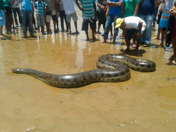 Cobra-de-seis-metros-encontrada-em-praia-de-Itacar
