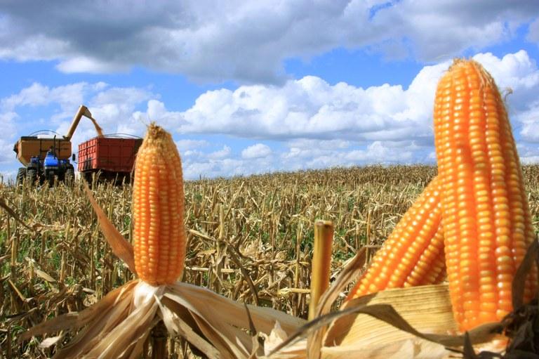 Brasil-pode-ser-o-primeiro-Pas-a-liberar-sementes-estreis