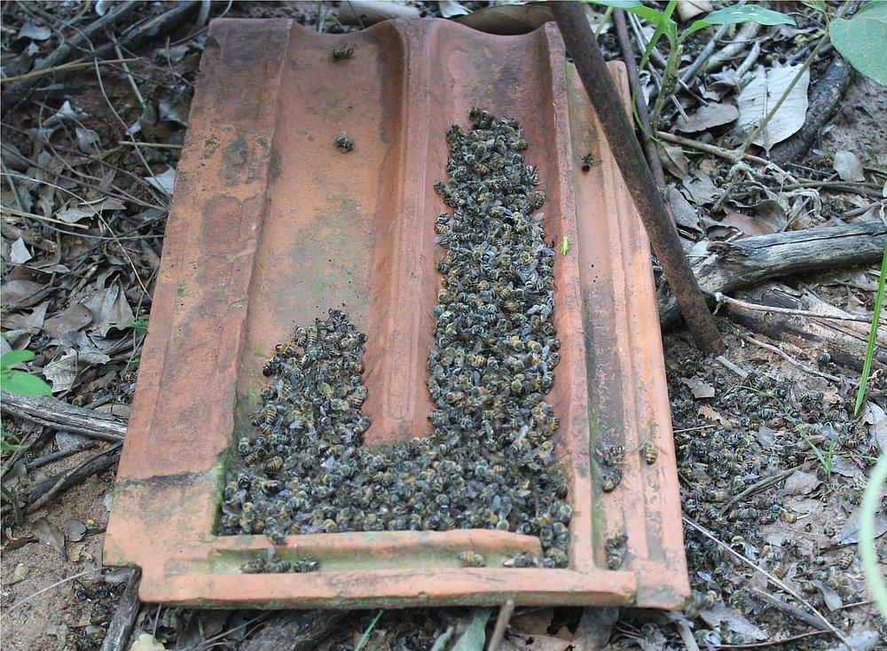 Massacre-das-abelhas-75-milhes-envenenadas-por-agrotxicos-na-Bahia