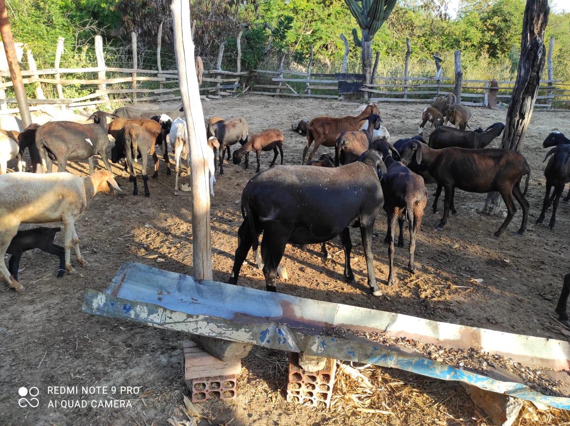 Criadores-de-caprinos-e-ovinos-dobram-valor-de-venda-dos-animais