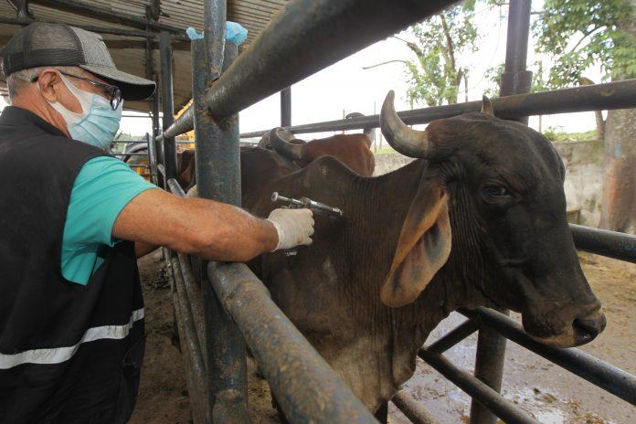 Bahia-deve-vacinar-mais-de-10-milhes-de-animais-contra-a-febre-aftosa