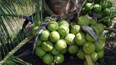 Saiba tudo sobre a cultura do coco