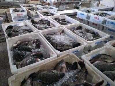 Comercialização de 7,7 toneladas de peixe gera renda para piscicultores