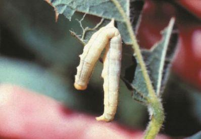 Embrapa amplia produtos para controle da principal praga do milho