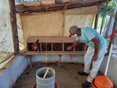 Criação de galinha caipira gera lucro para agricultores familiares