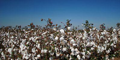 Algodão da Bahia: plantio começa com 50% da safra comercializada