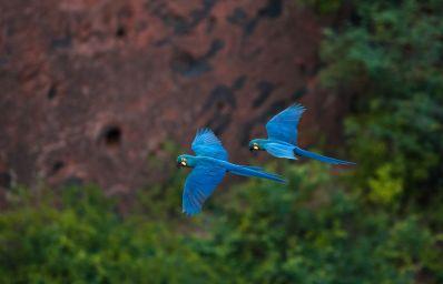 Arara considerada extinta volta à caatinga ao lado de onças e outras espécies ameaçadas