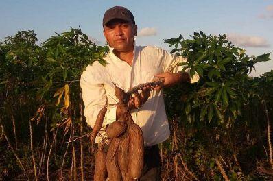 Mandioca desenvolvida na Bahia é mais produtiva e saborosa