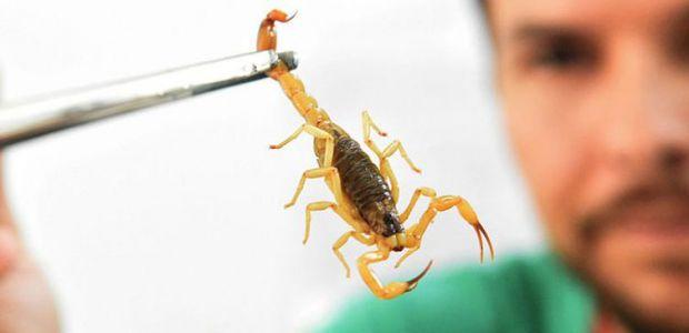 Saúde alerta para picadas de escorpião (mais comuns no verão)
