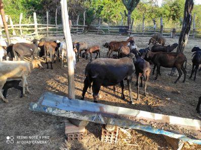 Criadores de caprinos e ovinos dobram valor de venda dos animais