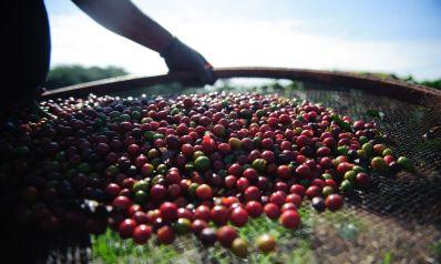 Quebra da safra e exportações devem elevar preço do café em 40%
